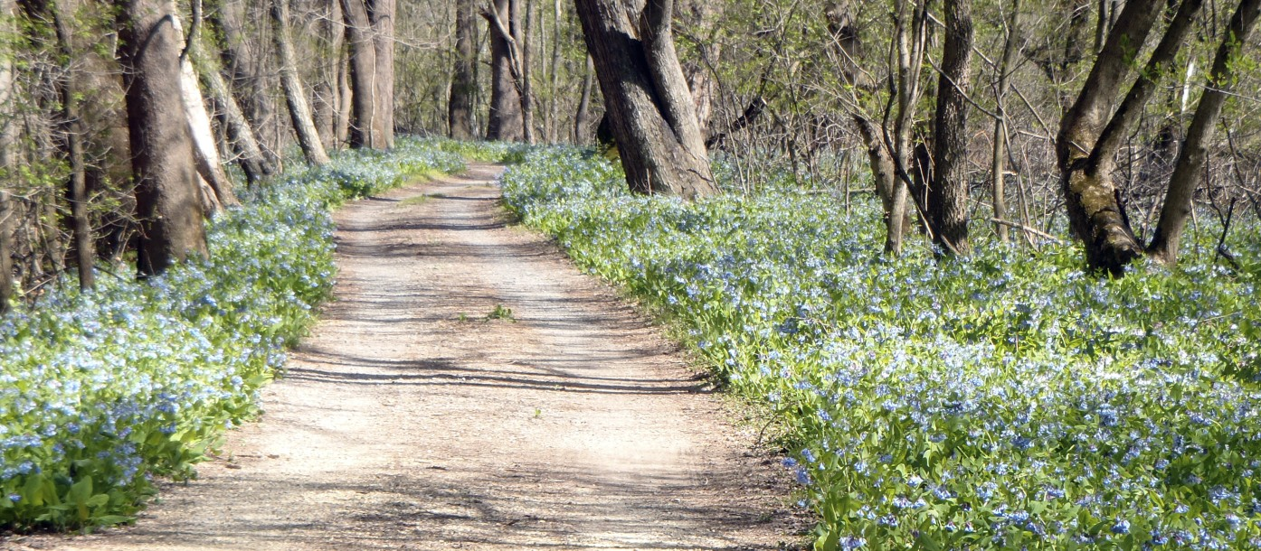 Bluebells on Cycling Path in Maryland